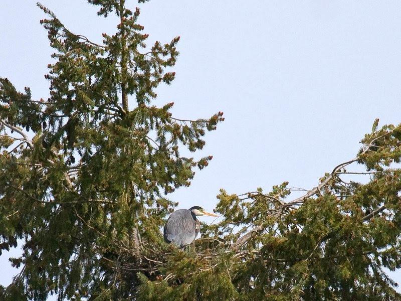 Great Blue Heron on nest