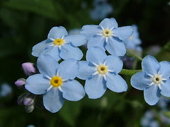 Forget Me Not by snopek, on Flickr