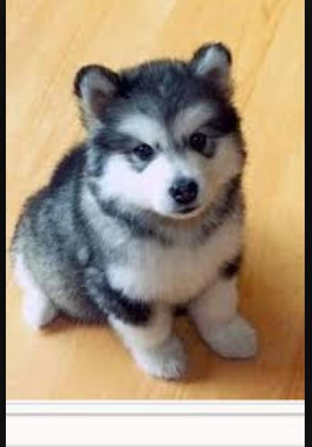 Pomsky | Adopt Local Dogs & Puppies in Iqaluit Nunavut Canada