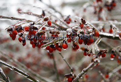 little red berries covered with ice