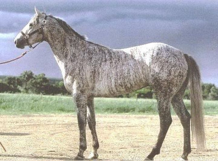 Tiger gray animal, horse