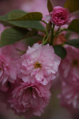 Detail, Kanzan Cherries, Prospect Park