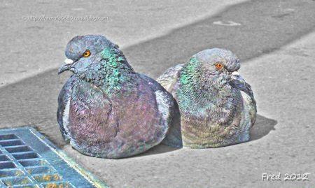 Pigeon 4 (2)-signée
