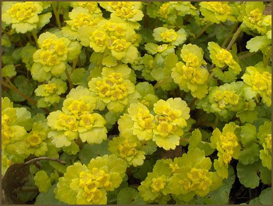 Kevätkukat Luonnossa