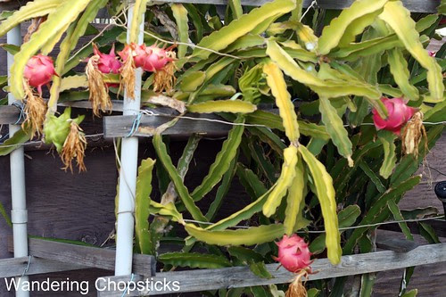 10.5 Dragon Fruit Bumper Crop 2