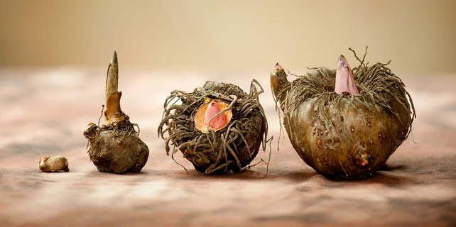 http://www.thebeautyshortlist.com/wp-content/uploads/2014/03/konjac-potato.jpg
