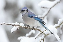 Blue Jay Sightings Locations Photos And Dates