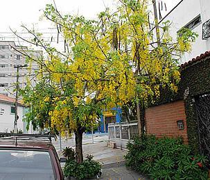 A bela floração da Chuva-de-ouro. Foto de Mauro Guanandi