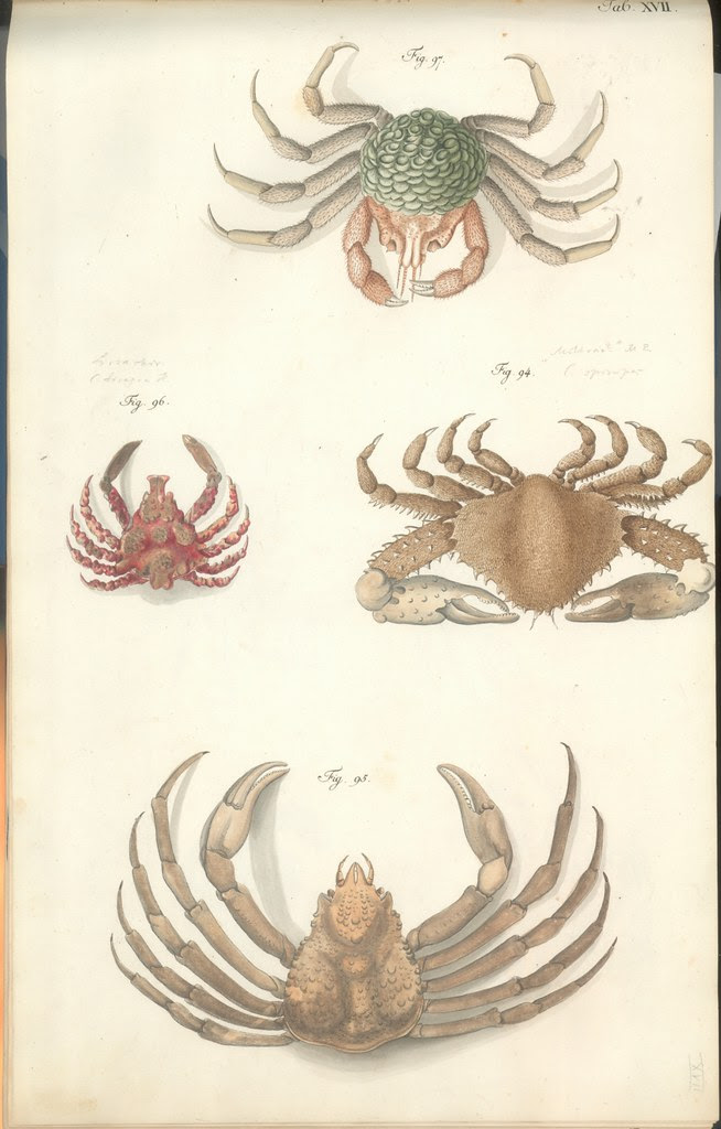 18th c. hand-coloured engravings of crustacea