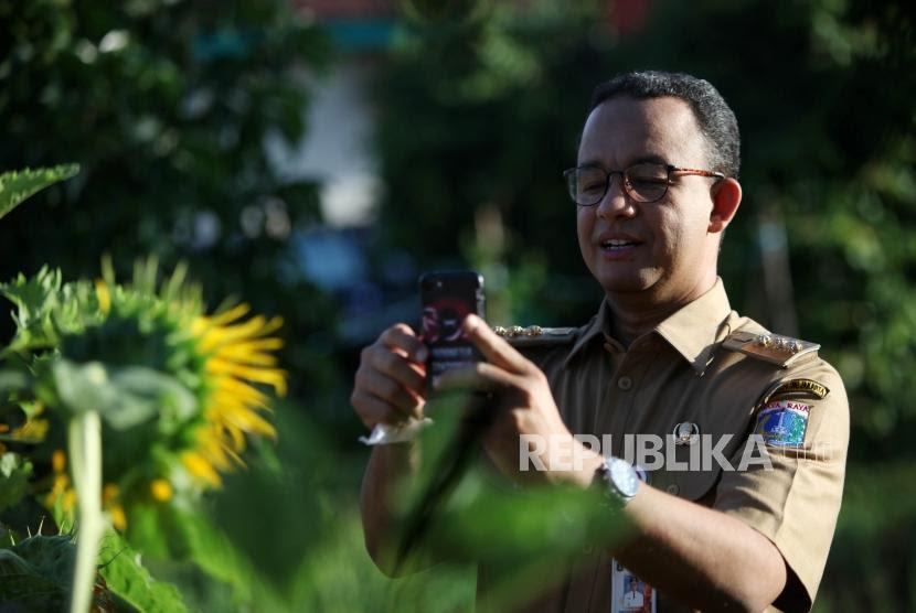 Gubernur DKI Jakarta Anies Baswedan memfoto bunga matahari seusai memanen padi di areal pertanian di Kawasan Cakung, Jakarta, Selasa (23/1).