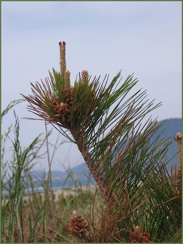 03 pines with new life