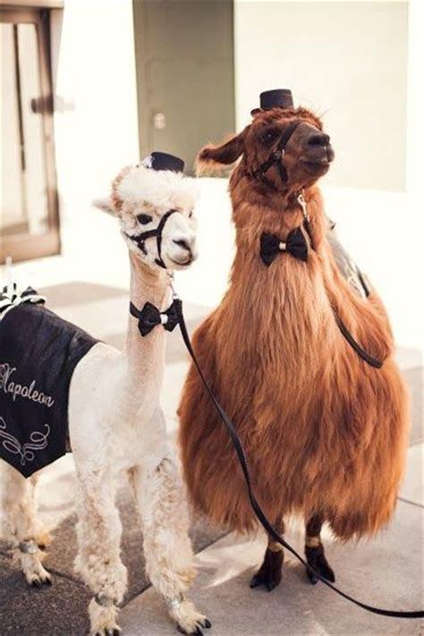 1000  ideas about Llama Gifts on Pinterest   Llama Shirt