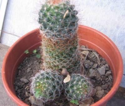 piante,divertente,cactus,pene