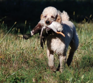 http://www.redhuntingpoodles.com/images/testimonialpicture.jpg