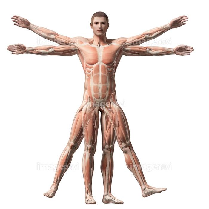 全身 筋肉 ウィトルウィウス的人体図 人体解剖学 生物学 立体的の画像