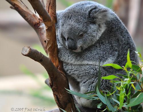 Cuddled Koala