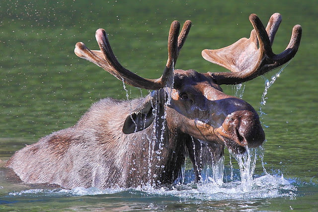 IMG_5010 Bull Moose Surfacing, Glacier National Park