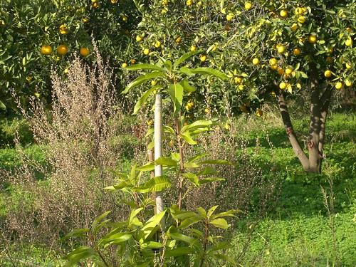 mango tree fournes hania chania