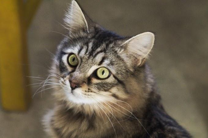 Cuántos años humanos vive un gato