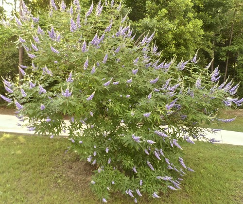 Chaste tree for men