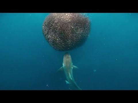 Tiburón ataca banco de peces envolviendo una bola de cebo gigante