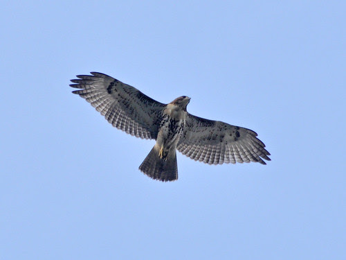 Young Red-Tail over the Cathedral