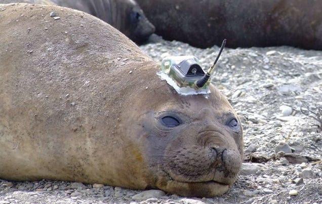 Un grupo de focas equipadas con cámaras recolectan datos de la Antártida