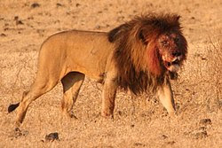 Lion Ngorongoro Crater.jpg