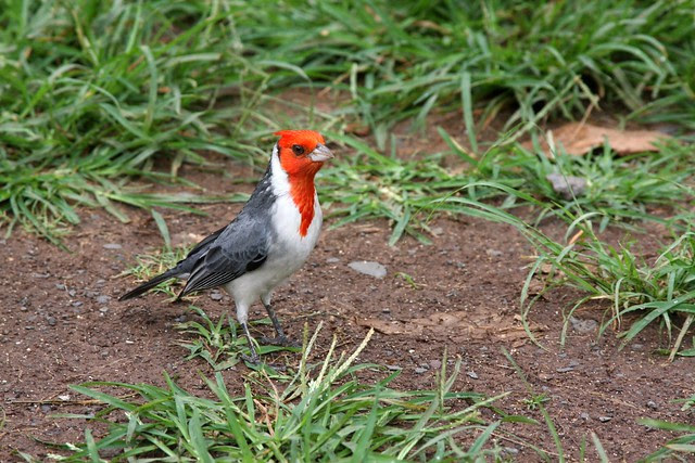 red crested cardinal, honolulu zoo