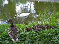 stratford swans 022