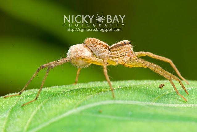 Wolf Spider (Lycosidae) - DSC_7424
