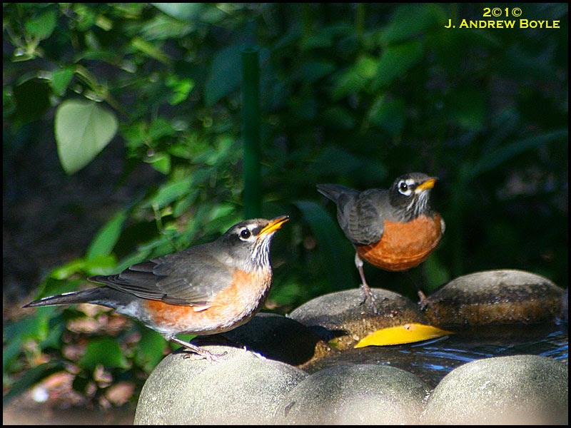 American Robins