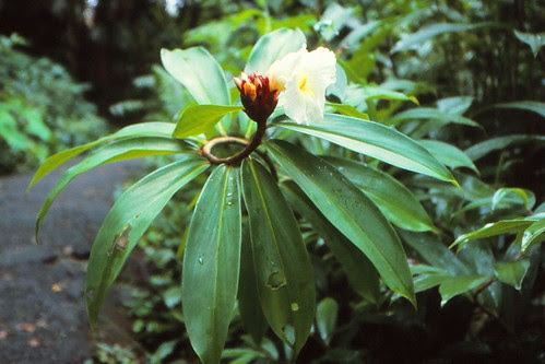 IMG_00736_Flower_in_Rainforest