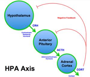 350px-HPA_Axis_Diagram_(Brian_M_Sweis_2012)
