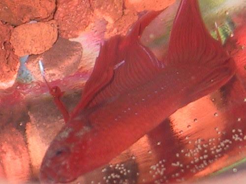 Red Male Long Fin Betta by cin_kong