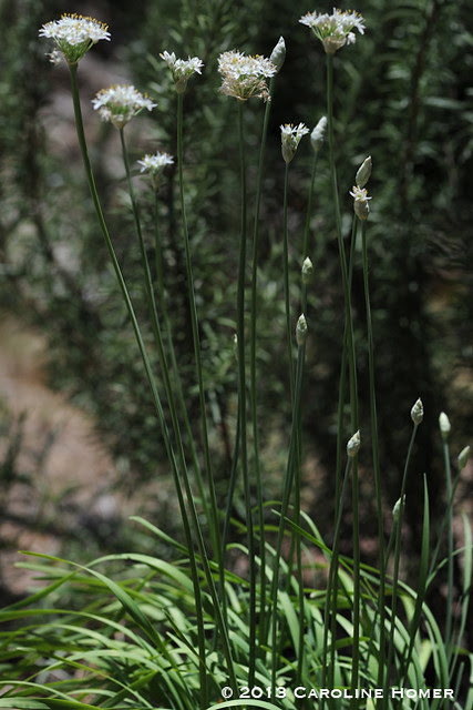 Garlic chives in bloom
