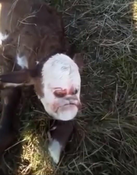 Conmoción en las redes por el ternero que nació con el rostro parecido al de un humano
