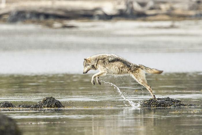 swimming-sea-wolves-pacific-coast-canada-ian-mcallister-11