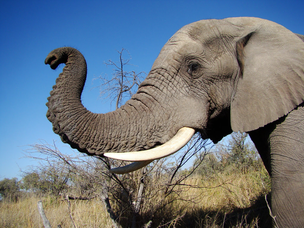 DSC08051 Elephant trunk
