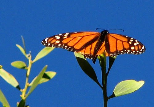 Monarch Butterfly by Tolka Rover