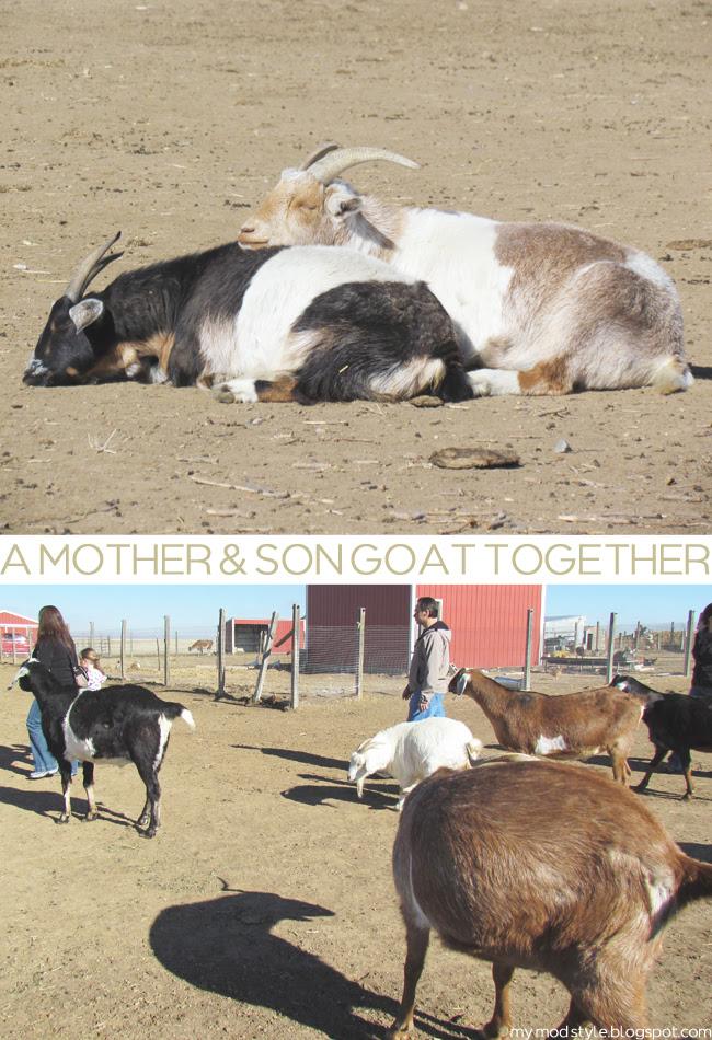 FARM goats together2