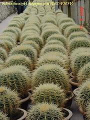 ch - cv cactus03