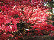 Autumn leaves at Westonbirt Arboretum, Gloucestershire, England.