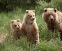 Government data reveals hundreds of B.C. grizzlies killed by humans in 2010