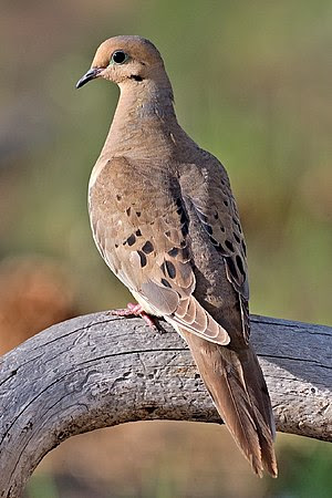 Mourning Dove, Cabin Lake Viewing Blinds, Desc...