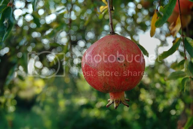 Pomegranate (Punica Granatum) - Detailed Image [enlarge]