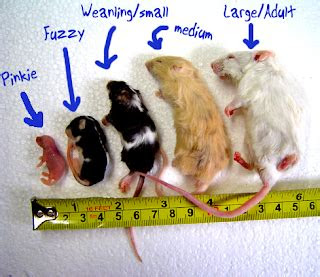 ferrets eat mice   regular diet  ferret pet