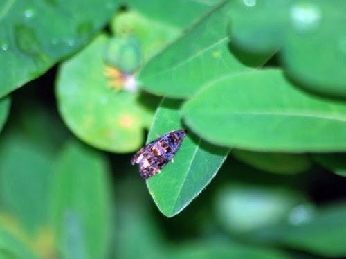 Celypha Lacunana