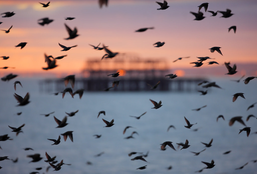 Starlings and West Pier, Brighton