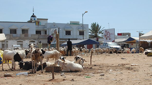 For several weeks central Dakar is transformed into a giant sheep ranch